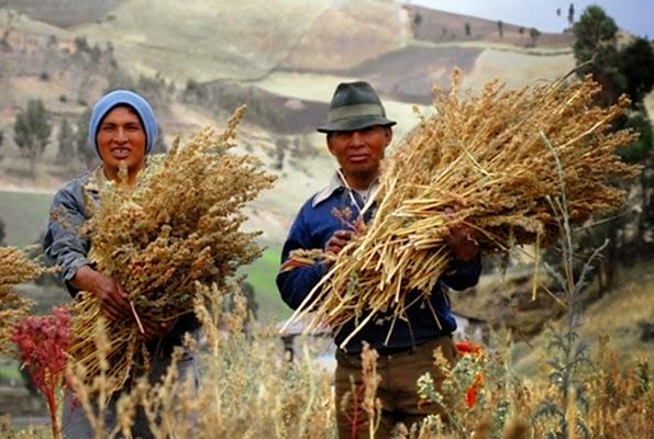 Quinoa hasat