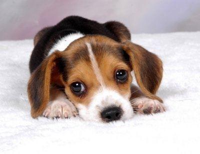 apartman köpeği