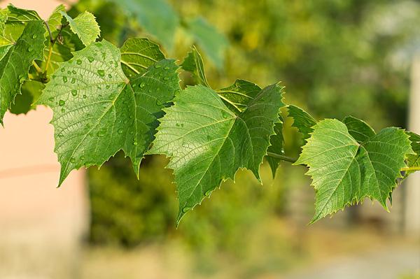 asma yaprağıyla varis tedavisi