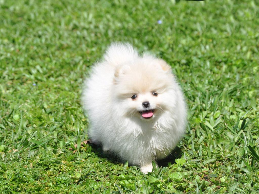 pomoronya köpeği