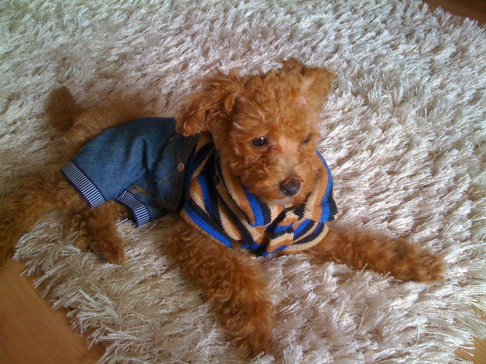 Apartmanda Bakılabilecek Köpek Cinsleri