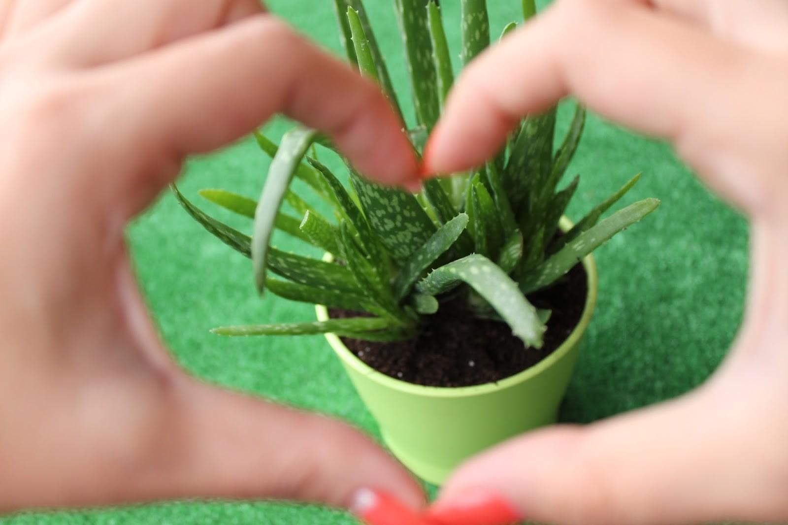 aloe vera nasıl yetiştirilir
