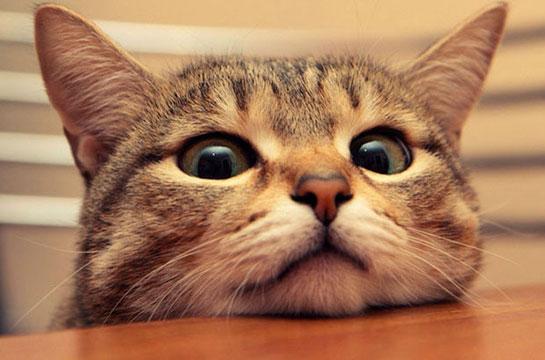 Evde Beslenebilecek Kedi Cinsleri Bilgi Rehberi