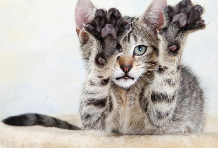 kedilerin parmak sayısı