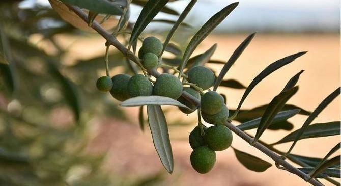 organik zeytin