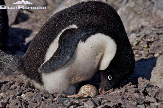 adelie pengueni kuluçka