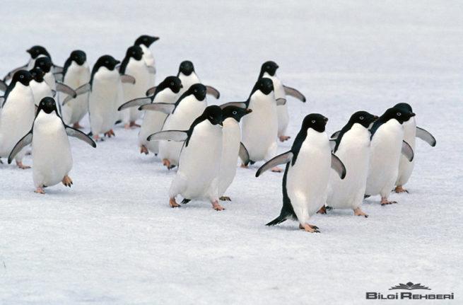 adelie penguenler sosyal canlılar