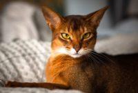 habeş kedisi
