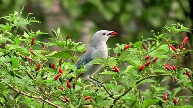 acı biber yiyen kuş