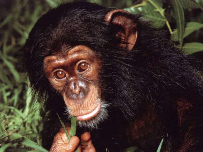 klon maymun