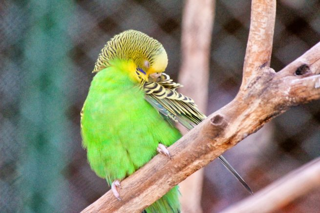 muhabbet kuşu kaşınma