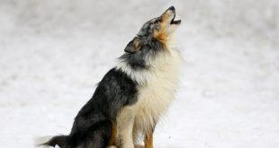 köpekler ezan sesi duyunca neden ulur