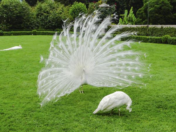 albino tavus kuşu