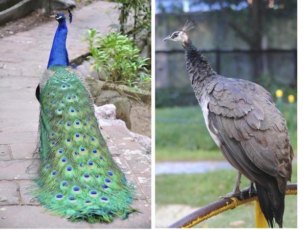 tavus kuşu kuyruk farkı