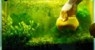 Bitki akvaryum alg rehberi